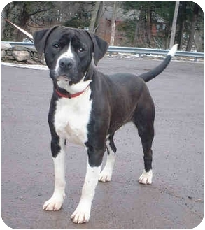 Pit Bull Terrier Mix Dog for adoption in Honesdale, Pennsylvania - Teddy