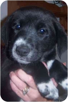 Labrador Retriever Mix Puppy for adoption in Richmond, Virginia - Morrissa