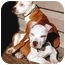 Photo 3 - Staffordshire Bull Terrier Puppy for adoption in Grass Valley, California - Dempsy