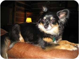 Chihuahua Mix Dog for adoption in Windham, New Hampshire - Toby
