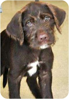 Wirehaired Pointing Griffon/Labrador Retriever Mix Puppy for adoption in Oswego, Illinois - I'M ADOPTED Amos Tiritilli