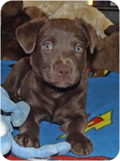 Labrador Retriever Mix Puppy for adoption in Phoenix, Arizona - Big Al