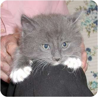 Domestic Longhair Kitten for adoption in Clementon, New Jersey - Roy