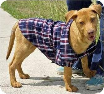 Labrador Retriever/American Pit Bull Terrier Mix Puppy for adoption in Corpus Christi, Texas - Trip
