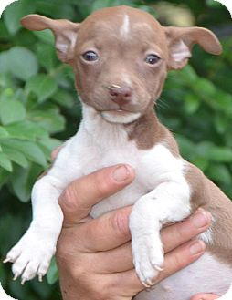 Chihuahua Mix Puppy for adoption in Hagerstown, Maryland - Tiny