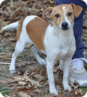 Chihuahua Mix Puppy for adoption in Staunton, Virginia - Kate