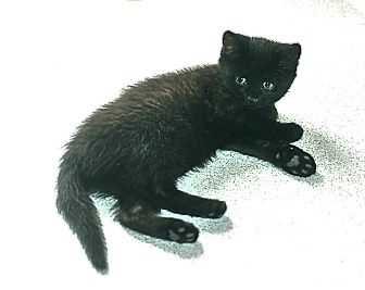 Domestic Shorthair Kitten for adoption in Victor, New York - Sonia