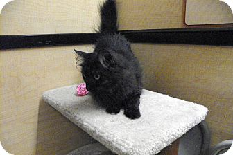 Domestic Longhair Cat for adoption in Riverside, California - Bonnie