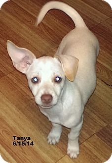Chihuahua Mix Dog for adoption in San Diego, California - Tanya