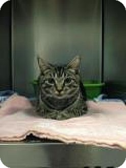 Domestic Shorthair Kitten for adoption in Bloomingdale, New Jersey - Gilly