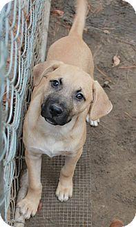 Shepherd (Unknown Type) Mix Puppy for adoption in Sagaponack, New York - Shawn