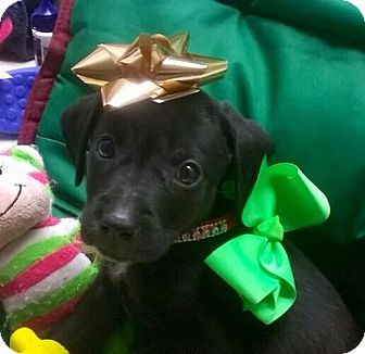 Labrador Retriever/Beagle Mix Puppy for adoption in Olive Branch, Mississippi - Rascal-Male