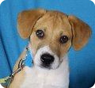 Hound (Unknown Type)/Retriever (Unknown Type) Mix Puppy for adoption in Minneapolis, Minnesota - Conrad