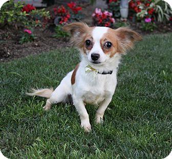 Papillon/Spaniel (Unknown Type) Mix Dog for adoption in Newport Beach, California - BEATRIS