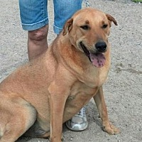 Shar Pei Mix Dog for adoption in Golden Valley, Arizona - Jax