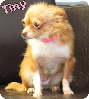 Chihuahua Mix Dog for adoption in Georgetown, South Carolina - Tiny