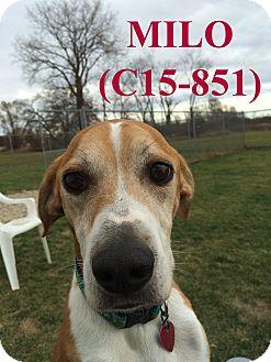 Mountain Cur Mix Dog for adoption in Tiffin, Ohio - Milo