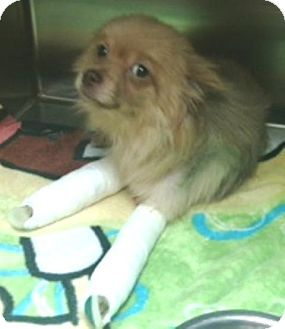 Pomeranian Dog for adoption in Dover, Tennessee - King
