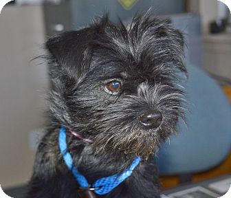 Shih Tzu Mix Dog for adoption in Meridian, Idaho - Clover