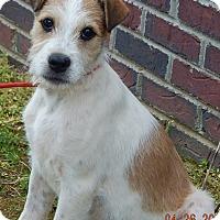 Adopt A Pet :: Petey(15 lb) New Pics & Video - SUSSEX, NJ