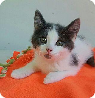 Domestic Shorthair Kitten for adoption in Albion, New York - Romeo