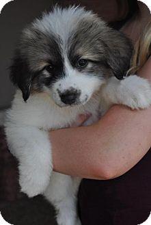 Great Pyrenees Mix Puppy for adoption in Atlanta, Georgia - Lulu