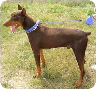 Doberman Pinscher/Doberman Pinscher Mix Dog for adoption in New Orleans, Louisiana - Rusty