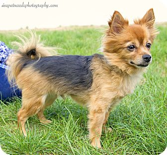 Yorkie, Yorkshire Terrier/Pomeranian Mix Dog for adoption in Worcester, Massachusetts - Poppy