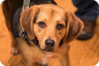 Beagle/Shepherd (Unknown Type) Mix Dog for adoption in Farmington, Michigan - Prince