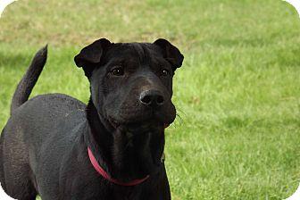 Shar Pei Mix Puppy for adoption in Phoenix, Arizona - Ivy
