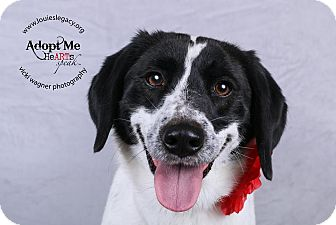 Labrador Retriever/Pointer Mix Dog for adoption in Cincinnati, Ohio - Josie