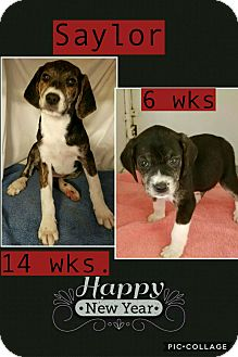 Beagle Mix Puppy for adoption in East Hartford, Connecticut - Saylor - in CT