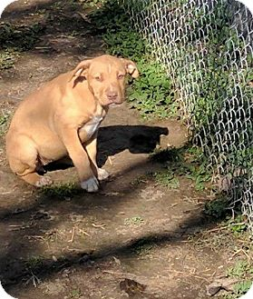 American Staffordshire Terrier/Pit Bull Terrier Mix Puppy for adoption in Covington, Tennessee - Billy