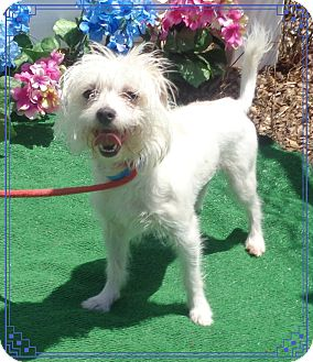 Maltese Mix Dog for adoption in Marietta, Georgia - MONTE