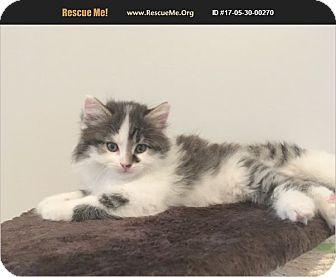 Domestic Mediumhair Kitten for adoption in Madison, Tennessee - Princess Sasha