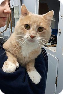 Domestic Shorthair Cat for adoption in Port Coquitlam, British Columbia - Mason