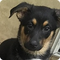Adopt A Pet :: German Shep/Aust. Shep mix - Pottstown, PA