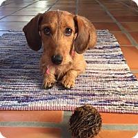 Adopt A Pet :: Ruby2 - Louisville, CO