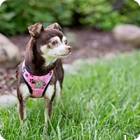 Adopt A Pet :: Lola - Dublin, OH - Dayton, OH
