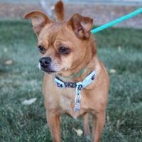 Adopt A Pet :: Peanut - Rio Rancho, NM