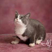Domestic Shorthair/Domestic Shorthair Mix Cat for adoption in Harrisonburg, Virginia - Purrissa