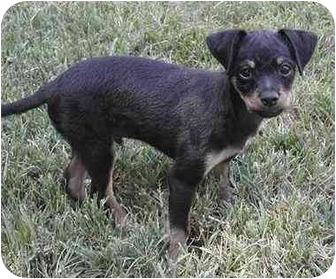 Chihuahua/Poodle (Miniature) Mix Puppy for adoption in Rolling Hills Estates, California - Rascal