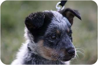 Australian Cattle Dog/Australian Cattle Dog Mix Puppy for adoption in Broomfield, Colorado - Shelly