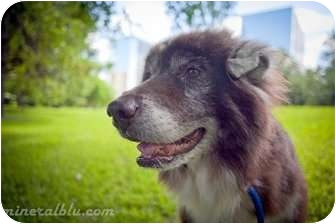 Husky Mix Dog for adoption in Houston, Texas - Husky