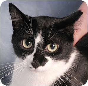 Domestic Shorthair Cat for adoption in Chicago, Illinois - Jezebel & Dizzy