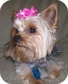 Yorkie, Yorkshire Terrier Mix Dog for adoption in Bettendorf, Iowa - Honey