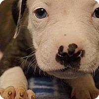 Adopt A Pet :: Bang - Hilliard, OH