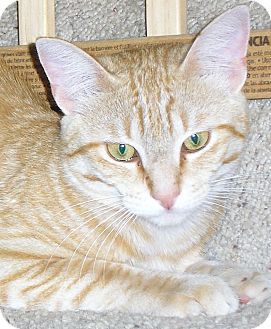 Domestic Shorthair Cat for adoption in Austin, Texas - Xander