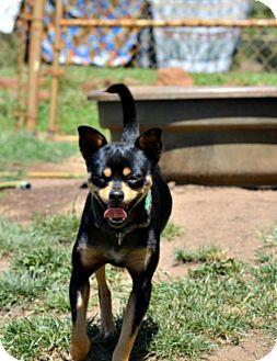 Miniature Pinscher/Chihuahua Mix Dog for adoption in Anza, California - Spike