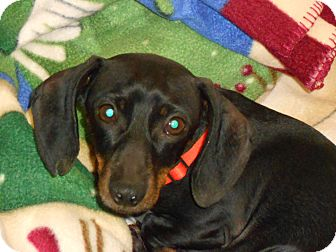 Dachshund Dog for adoption in Andalusia, Pennsylvania - Stitch